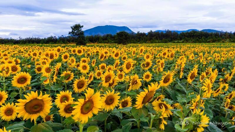 Vườn hoa hướng dương tại Farmstay